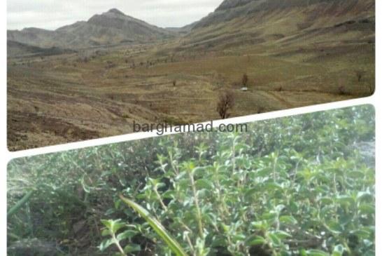 برداشت گیاه آویشن از کوههای زیبای برغمد